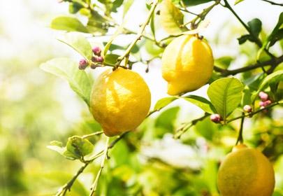Tout savoir sur l'essence de Citron